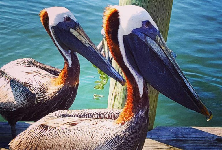 hp-pelicans